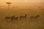Young cheetahs walking at sunset, Masai Mara, Kenya