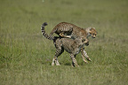 Two 8-month-old cheetahs playing leapfrog, Masai Mara, Kenya