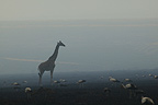 Masai Giraffe and White Storks at dawn in the savanna, Masai Mara, Kenya