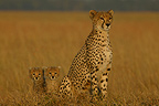 Female cheetah sitting with her 2-month-old cubs, Masai Mara, Kenya