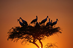 White Stork nest on an acacia, Masai Mara, Kenya
