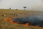 White storks catching insects and small animals flushed out by a bush fire, Masai Mara, Kenya.