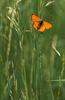Male Large Copper butterfly on a blade of grass, Switzerland