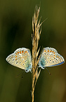 Pair of Adonis Blue butterflies on grass, Switzerland
