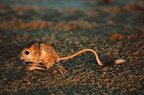 Lesser Egyptian Jerboa at sunset, Sahara, Africa