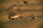 Lesser Egyptian Jerboa digging its burrow Sahara, Africa