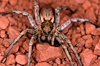 Wolf spider on a trail near Aït Benhaddou, Morocco