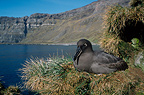 Dark-mantled Albatross on its nest, Crozet Islands, French Southern and Antarctic Lands.