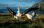 Wandering Albatrosses courting, Crozet Islands, French Southern and Antarctic Lands.