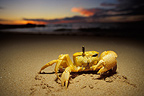 Ghost crab showing its eye, Cape Range NP, Australia