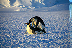 Emperor Penguins mating, Adelie Land, Antarctia