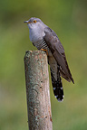 Common Cuckoo on a pole, Germany