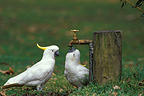 Sulphur-crested Cockatoo drinking, Australia
