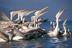 Dalmatian Pelicans fishing, Greece