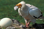 Egyptian Vulture breaking an Ostrich egg, Kenya
