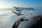 Greylag Goose flying over the Millau Viaduct, France