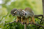 Two one-year-old black-capped (Bolivian) squirrel monkeys  on a branch, France (Captive)