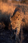 Male leopard walking in the savanna, Kalahari, Namibia