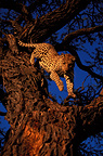 Male leopard coming down from an acacia, Kalahari, Namibia