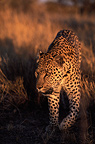 Male leopard walking in the bush Kalahari Namibia