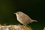 Adult Wren perched on a rock in spring, France