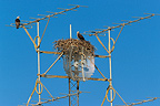 Pair of Ospreys around their nest on a satellite dish, Western Australia