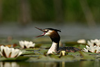 Adult Great Crested Grebe swimming in water lilies, Netherlands