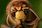 Close-up of a European hornet's head, France