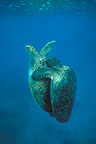 Green sea turtles mating underwater, Australia