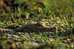 Common caiman in the water Venezuela