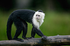 Adult white-headed capuchin (White-faced Capuchin) walking on a branch, France (captive)