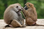 Female Guinea baboon (Hamadryas baboon) delousing her male (captive)