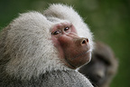 Male Hamadryas baboon turning its head Portrait (captive)