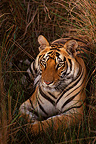 Bengal tiger lying in the grass, Bandhavgarh NP, India