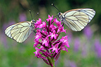 Two Black-veined White butterflies feeding on a Pyramidal Orchid, France