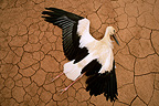 Dead White Stork on cracked earth, Spain