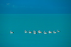 Group of Australian Pelicans swimming Australia