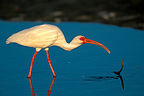 American White Ibis fishing in a pond Florida USA