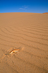 Sandfish (Skink) diving into the sand Morocco
