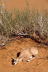 Young Arabian Oryx in the desert Saudi Arabia