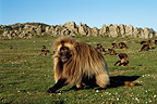 Male gelada baboon and his harem, Ethiopian Highlands