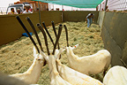 Arabian Oryx in a pen before reintroduction Saudi Arabia
