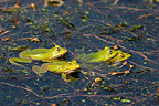 Pool Frogs (Small green frogs) mating in the Etang de Brenne, France