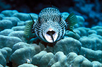 Cleaner wrasse in white-spotted pufferfish's mouth, Egypt