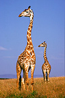Masai Giraffes alert in the savanna Kenya