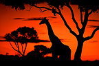Masai Giraffe in the savanna at sunset Kenya