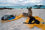 Gal�pagos sea lions lying on a tourist's towel, Galapagos
