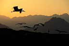 December migration of White Stork,Sinai desert, Egypt