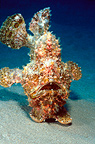 Frogfish, Egypt,Red Sea