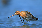 Black-tailed Godwit in breeding plumage scratching France